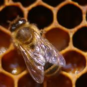 Honeybee in the hive