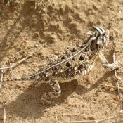 New Mexico desert wildlife; horned lizard