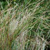 Little bluestem grasses