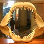 Megalodon shark teeth at North Carolina Museum of Natural Sciences