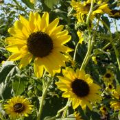 Native sunflower, state flower of Kansas