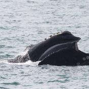 Juvenile northern right whale showing baleen