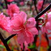 Peach blossoms - the state flower of Delaware