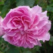 Lokelani - Damask rose, Rosa damascena