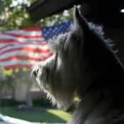 American flag and patriotic pooch