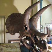 Replica of famous South Dakota triceratops skull