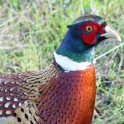 Chinese ring-necked pheasant