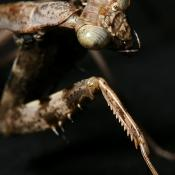 Carolina mantid (praying mantis)