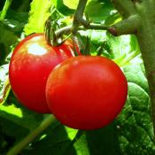 Tomato plant with ripe fruit