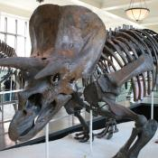 Triceratops fossil skeleton at the American Museum of Natural History in NYC