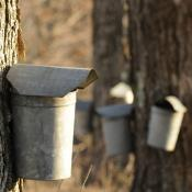 Sap buckets on sugar maple trees in Vermont