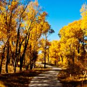 Cottonwood trees in Wyoming