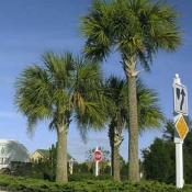 Sabal palm trees