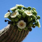 Saguaro cactus blossoms; the State Flower of Arizona