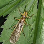 Stonefly on a leaf