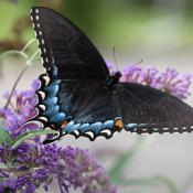 Female eastern tiger swallowtail butterfly (Papilio glaucus)