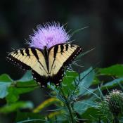 Male eastern tiger swallowtail butterfly (Papilio glaucus) on thistles