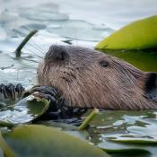 Beaver (Castor canadensis) snacks on lily pad