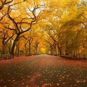 American elm trees in fall color
