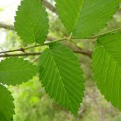 American elm tree leaves