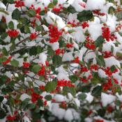 American holly covered in snow