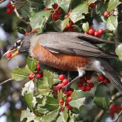 American robin snacking on American holly berries