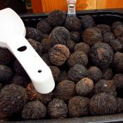 Black walnuts (juglans nigra), also called American Walnuts