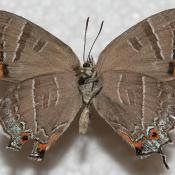 Colorado Hairstreak Butterfl: underside of wings