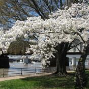 cherry tree in blossom, Washington DC