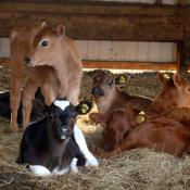 Dairy cow calves