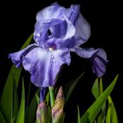Purple iris with dew