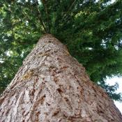 Looking up at Douglas fir tree
