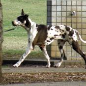 Great Dane in Motion