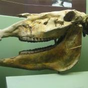 Fossil skull of Hagerman horse