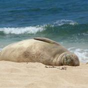 Hawaiian monk seal rests on beach