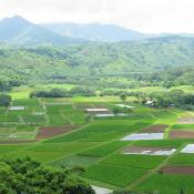 Taro fields in Hawaii