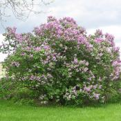 Blooming lilac bush