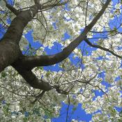 Mature dogwood tree in bloom