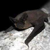 Mexican free-tailed bat at rest