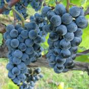 Norton grapes growing in Missouri