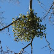 Mistletoe in oak tree