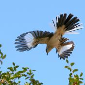 Northern Mockingbird in aerial mating display