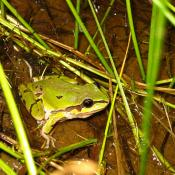 State Amphibian of Arizona, Arizona Tree Frog photo