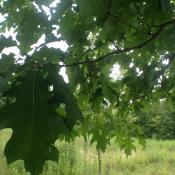 Northern red oak leaves in summer