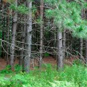Norway pine trees (red pine)