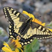Image of Oregon Swallowtail butterfly by Alan Schmierer