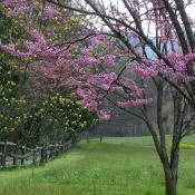 Redbud tree in spring