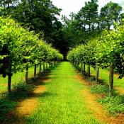 Scuppernong grape vines in North Carolina
