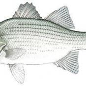 White bass sketch