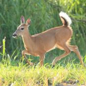 White-tailed deer doe flashes a warning